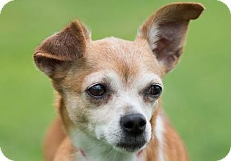 Pictures of Amber a Chihuahua for adoption in Colorado Springs, CO who needs a loving home.