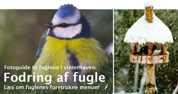Vinterfodring af fugle - NaturGuide.dk - Danmarks natur på nettet