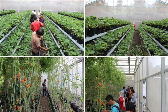 belanja dan belajar cara menanam dan pembibitan buah strawberry dan tomat di Dedanau Bratan bedugul Bali