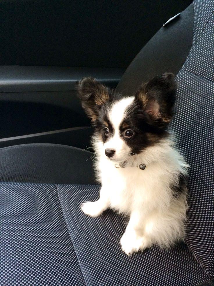 Papillon puppy. Benson