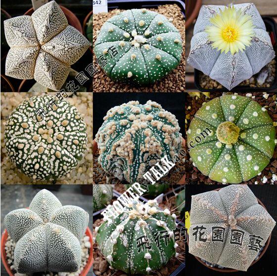 Смешать 20 шт. мини кактус сочные семена дерево бонсай мини кактусов флористика sementes цветения сочные растения
