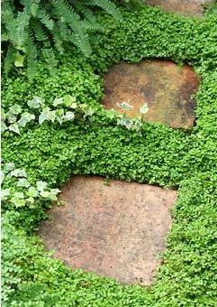 Soleirolii, Hedera between terracotta tile stepping stones