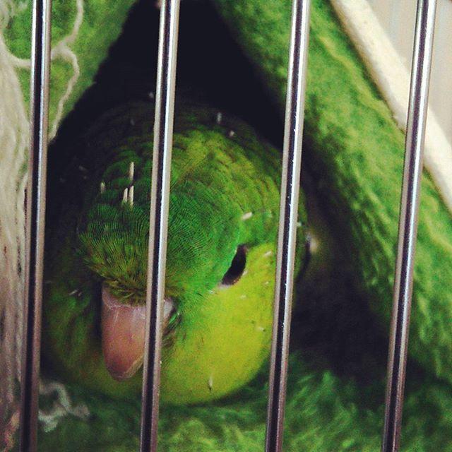 おやすみなさい、又明日ね(^^) ブラスおまけのネイル※今日はオフ、ネイルしてテンション↗マツエク付けたしー(*^O^*) #ペット#鳥#インコ#サザナミインコ#グリーン#バードテント#眠い#セルフネイル