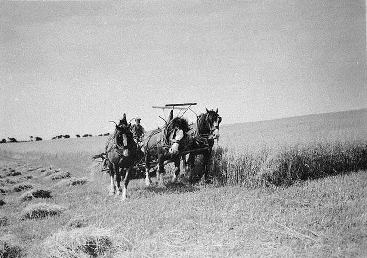 Harvesting the Oats, with three Horses pulling the Binder. Clone farm Portwilliam 1937