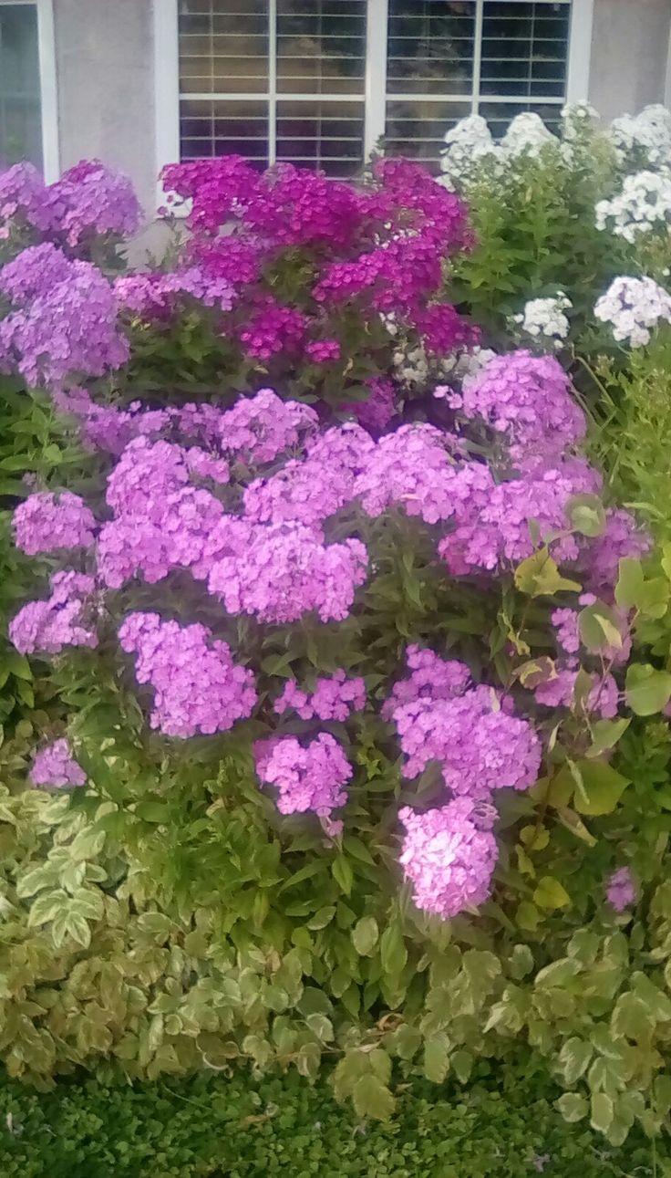Got to love Phlox.  They smell great too.
