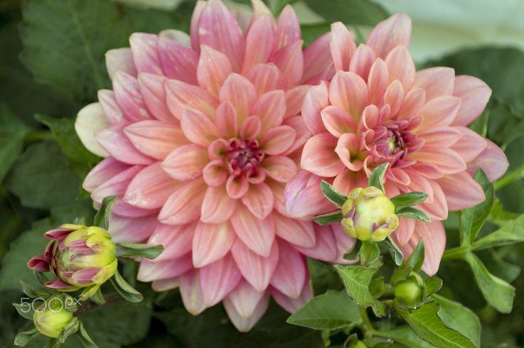 Flowers  - Pink Georgines - Beautiful garden flowers