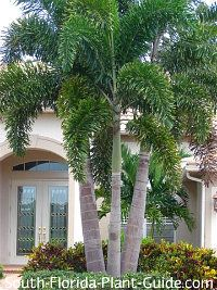 Classic South Florida Landscapes Foxtail Palm 'Wodyetia bifurcata' The enchanting foxtail palm is extremely popular for its perfect proportions, self-cleaning habit and full, rounded fronds.