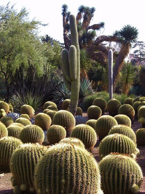 Desert Garden Cactus: Echinocactus Grusonii (Golden Barrel Cactus). January 6, 2010. Huntington Library and Botanical Gardens, San Marino, California.