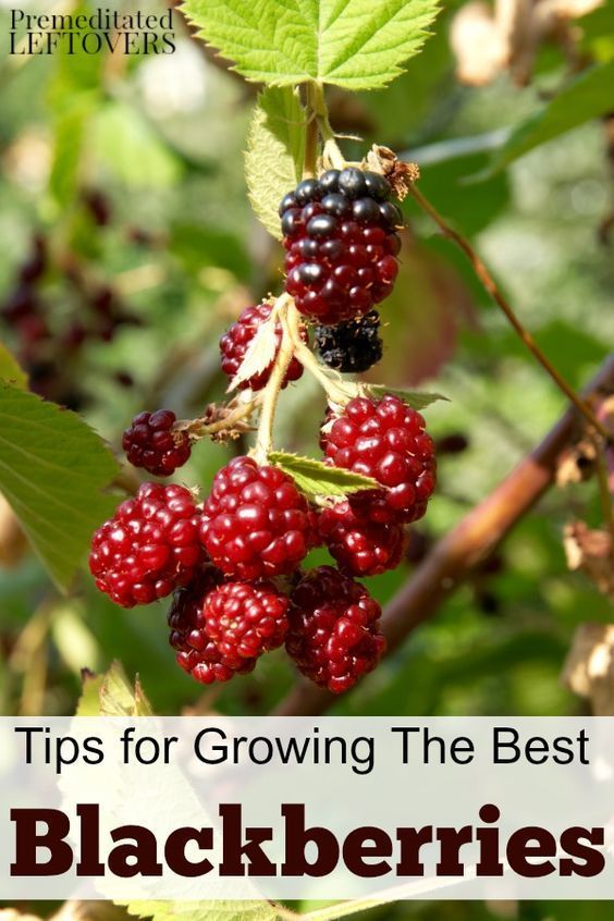 Tips for Growing Blackberries in your garden, including how to plant blackberries, how to grow blackberries in containers, how to care for blackberries, and more berry gardening tips.
