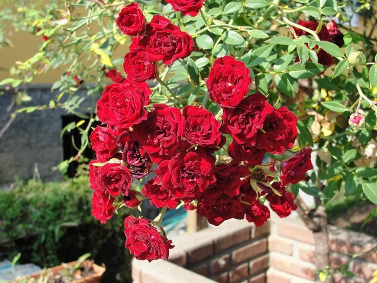 trepadeira vive carregada de flores!  Rosas e Roseiras  Pinterest