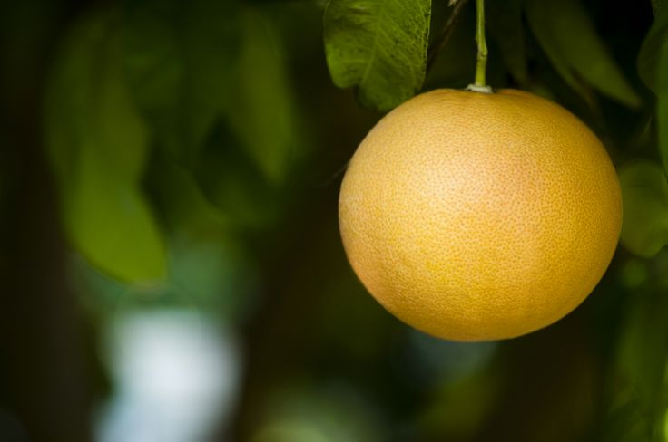 You may find that you have no grapefruit on a tree that you've watered and pruned for several years. Grapefruit problems are common and it is sometimes difficult to get grapefruits on trees. Learn more here.