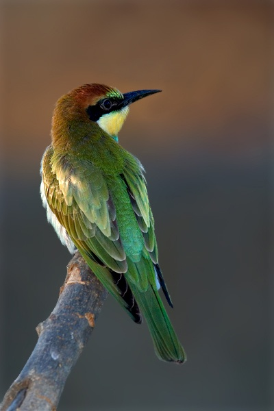 Young European Bee-eater. Merops apiaster.  By: Angel Pulido Domínguez: Birds Identification, Birds Colors, Cuti Birds, Bees Eating, Bees Eater, Birdie, Angel Pulido, Beautiful Birds, Photo