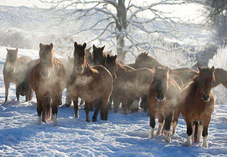 Huzuls' herd.jpg - Herd of Huzul horses in winter