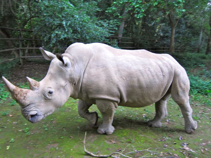 "The Northern White Rhino (Ceratotherium simum cottoni) of central Africa is now ""possibly extinct"" in the wild and the Javan Rhino (Rhinoceros sondaicus annamiticus) is ""probably extinct"" in Vietnam, after poachers killed the last animal there in 2010. A small but declining population survives on the Indonesian island of Java."