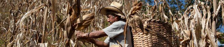 Guía de transgénicos y consumo responsable de Greenpeace | Espacio Estatal en Defensa del Maíz Nativo de Oaxaca