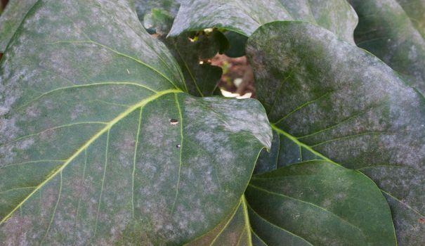 Le mildiou recouvre les maladies affectant de nombreux végétaux au jardin et dans le potager. Il s'agit d'attaques de champignons qui prennent le dessus sur le feuillage, les fruits ou les légumes, surtout par temps chaud et humide. Le mildiou est particulièrement repérable sur les pommes de terre, les tomates, la vigne mais aussi les carottes ou les oignons. Afin d'éviter les attaques de mildiou et la destruction des végétaux, il faut anticiper ! Préparer le sol, utiliser les pur...
