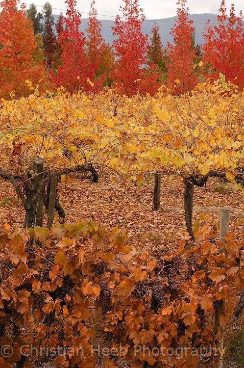 Grapes, Winery, Colchagua Valley near Santa Cruz, Libertador, Chile.