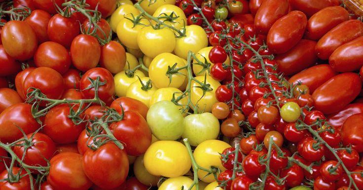 Beim Anbau von Tomaten liegen Freud und Leid dicht beieinander: Ein warmer, trockener Sommer garantiert reiche Ernten, eine verregnete Saison macht alle Mühen zunichte. Mit etwas Know-How stehen die Chancen gut, jedes Jahr Tomaten aus dem eigenen Garten zu genießen.