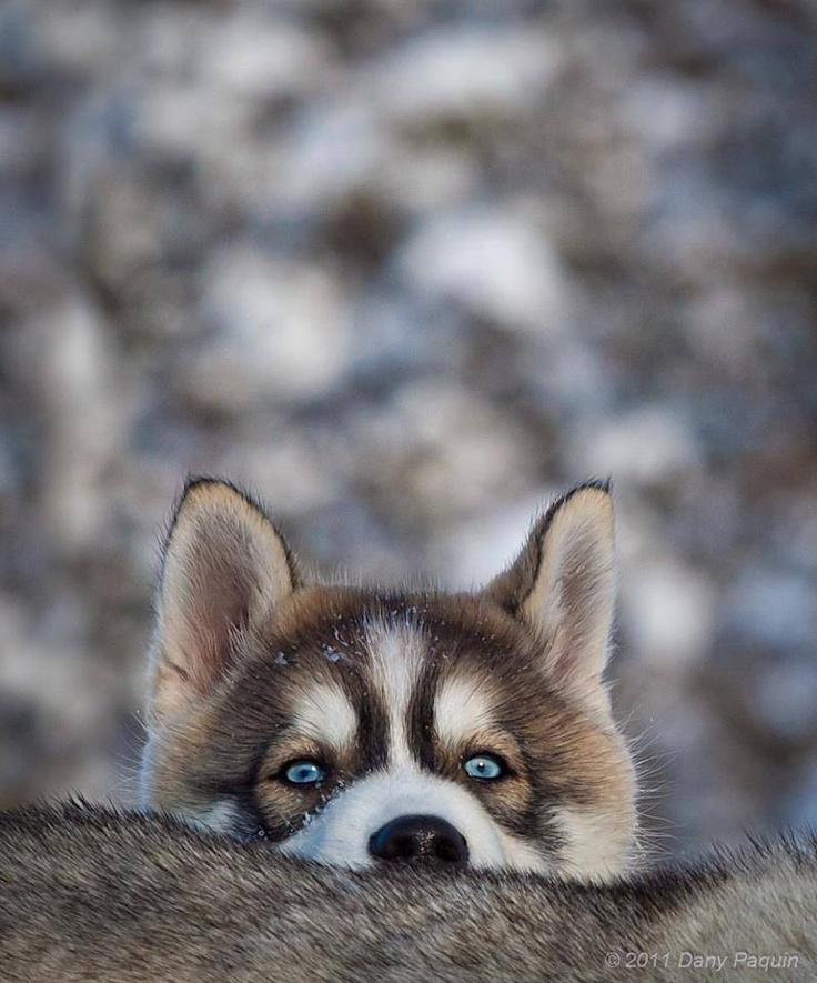 Young husky, #zienrs #kijken #zien, #Grappig, #Dieren, #Animals #Fun #Peekaboo