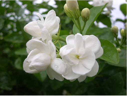 Jasmine growing in Belize; .My favorite floral scent.  Until you've smelled the sweet aroma of one tiny Jasmine flower from 20 feet away, you haven't experienced floral scents.  Mexico and Belize were full of them. hmmmmm