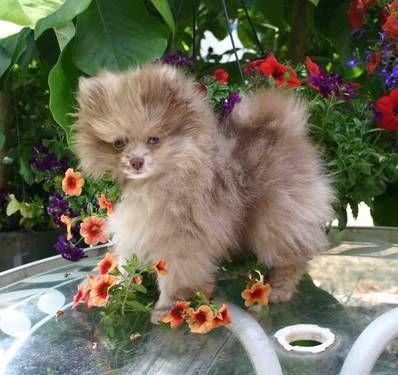 Chocolate Pomeranian<3