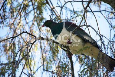 Kererū, the New Zealand Wood Pigeon Royalty Free Stock Photo