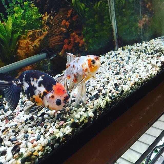 【yuhki.n】さんのInstagramをピンしています。 《東錦さんのあくび。今日は水換えデーなのでウチの金魚たちはご飯なしです(笑) #アクアリウム #goldfish #金魚 #aquarium》