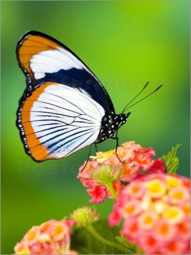Hypolimnas usambara Mariposa de Kenia y Tanzania.