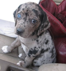 Little Mutt Puppy Husky Heeler Mix 8 Weeks. Im getting this pup