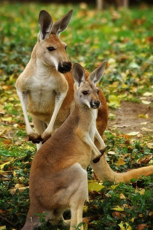 25 Best Ideas About Kangaroos On Pinterest Kangaroo