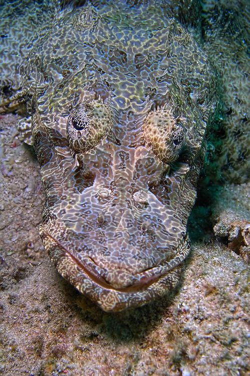 Cymbacephalus beauforti - the crocodile fish,  a mottled brownish gray species of flatfish with fluorescent green markings criss-crossing its body. They often camouflage themselves on sheltered or semi-exposed reefs.