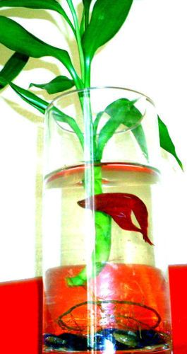 Bamboo betta fish bowl habitat homegrown good lucky bamboo for Plants for betta fish vase