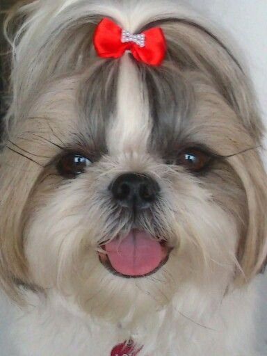 So sweet! Look at those beautiful eyes! Shih Tzu