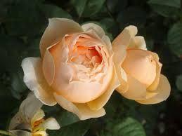 「丸いバラ」の画像検索結果
