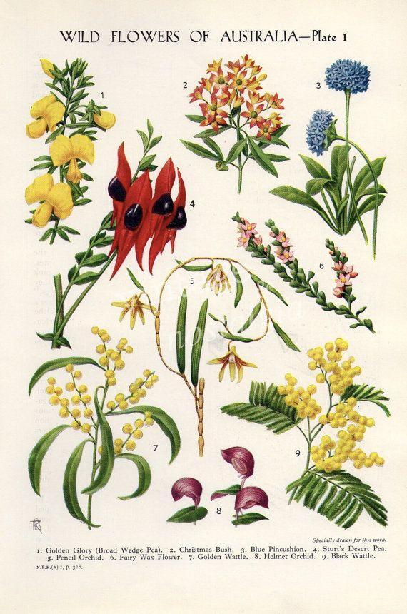 vintage Botanical flower print Australian par theStoryOfVintage