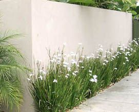 Butterfly Grass Dietes is one of the most versatile plants, it thrives in difficult sites, enjoys drought, wind, heat and poor soils.