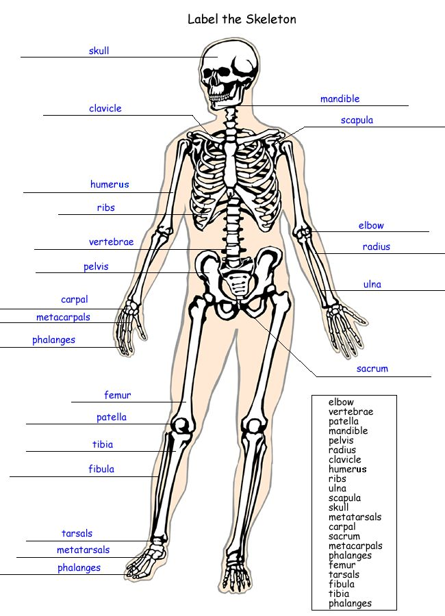 1000+ images about Body worksheets on Pinterest | Human Skeleton ...
