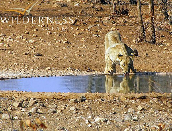 The Ongava Reserve – October 2013 The resident lion pride arrives at the camp waterhole #Africa #Namibia #Safari #WildernessSafaris