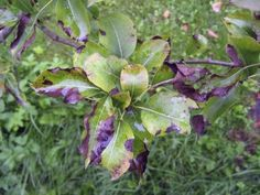 Pear Tree Issues: Tips On Fixing Pear Tree Problems - If you have an orchard with pear trees, expect to encounter pear tree diseases and pear tree insect problems. Get more information about fixing pear tree problems in the following article. Click here to learn more.