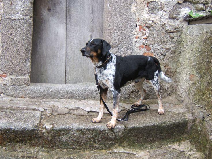 Tomiku, Cesky Strakaty Pes