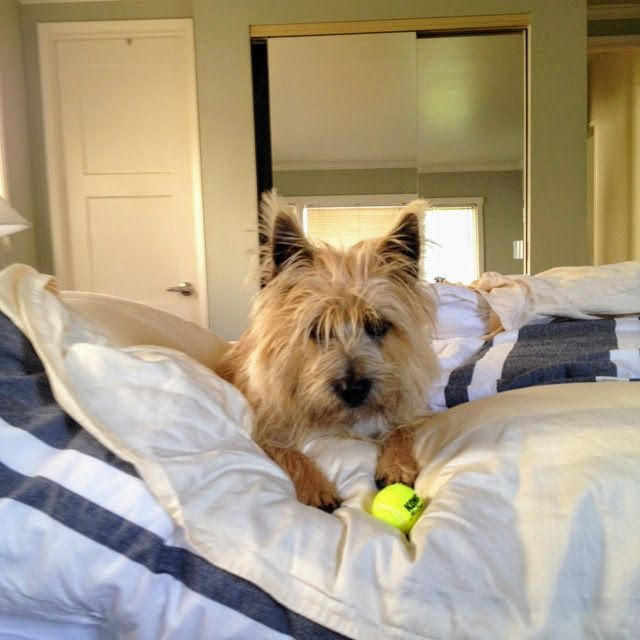 Biscuit With Bed Head Ever Present Ball Cairn Terrier Terrier