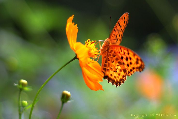 splendidButterflies Dragonflies,  Lycaenid Butterflies, Bing Image, So Pretty, Colors Nature, Orange Country, Flower, Beautiful Things, Colors Splashes