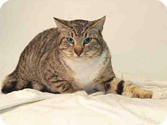 San Pedro, CA - Domestic Mediumhair. Meet CARA, a cat for adoption. http://www.adoptapet.com/pet/17700237-san-pedro-california-cat