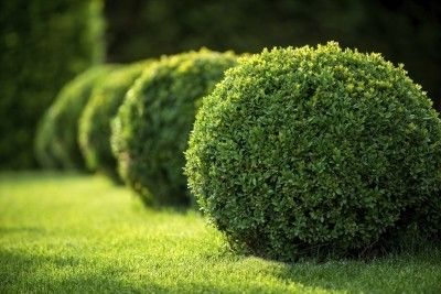 Fertilizer For Boxwood Shrubs: Tips On Fertilizing Boxwoods -  Healthy boxwood plants have lush green leaves, but to keep your shrubs looking their best, you may need to offer them boxwood plant food. For more information on appropriate fertilizer for boxwood shrubs, click this article.