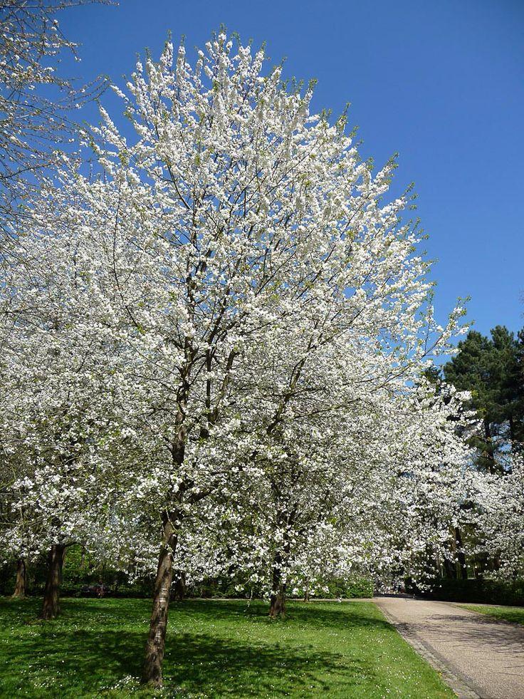 Prunus avium   zoete kers