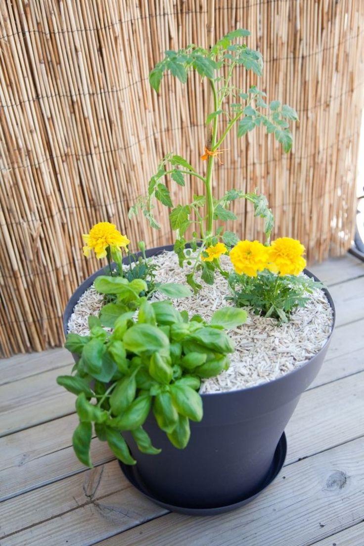 Planter des tomates cerises en pot : comment faire ? en ...