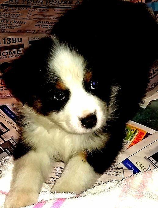 Australian Shepherd Puppies For Sale in Texas Wild Wings Australian Shepherds