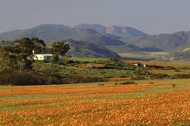 gorgeous South Africa - blue mountains in Namakwaland with flowers after the rain