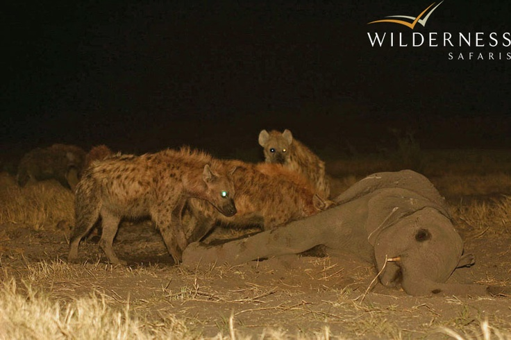 Chitabe Lediba - Afternoon drives usually return after dark in the hopes of spotting the shyer nocturnal animals of the Okavango Delta: such as genet, civet, serval, porcupine and, on the rare occasion, the aardwolf. #Safari #Africa #Botswana #WildernessSafaris
