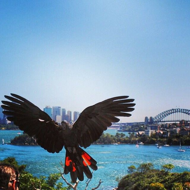 A Red-tailed Black Cockatoo at #Taronga zoo in #Sydney #Australia  Brilliant shot by pieces_of_lu Instagram)